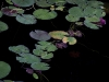 lily-pads-1
